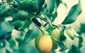 RAMA, follaje, limones, Macro