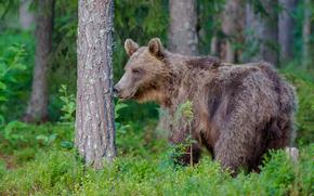 bear, Bruin, forest