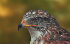 Royal buzzard, hawk, bird, head, beak, portrait