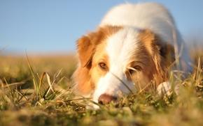 Австралийская овчарка, собака, морда