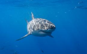 squalo bianco, squalo, Krasava, pesce, mare