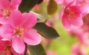 cherry, Flowers, flora