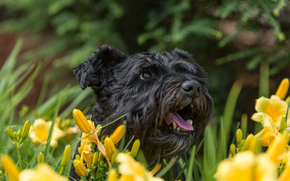dog, Snout, Flowers, Lilies
