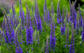 Veronica spikelet, Veronica, meadow