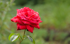 rose, red, flower, nature, foliage, Green, Macro