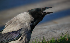 crow, bird, animal, Gray, Macro