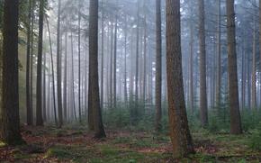 Лес, деревья, ели, дымка, приода, тава