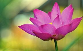 fiore, loto, natura, Macro