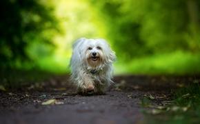 哈瓦那犬, 狗, 旅游