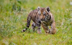 gatinho, Filhote de tigre, tigre