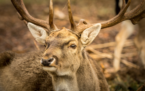 deer, Horns, Macro, animal
