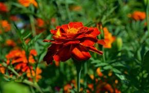 summer, August, Flowers
