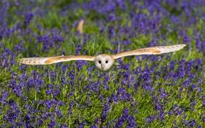 Обыкновенная сипуха, сипуха, сова, птица, крылья, полёт, цветы, колокольчики, луг