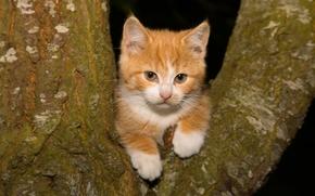 ginger kitten, kitten, Red, view, tree, on the tree