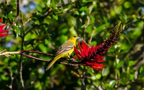 garden color trupial, trupial, bird, erythrite, flower, branch