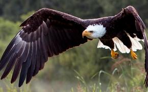 Weißkopfseeadler, hawk, Vogel, Räuber, Flügel, Flucht