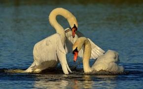 парочка, любовь, птицы, крылья, лебеди, вода