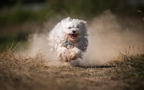 哈瓦那犬, 狗, 毛茸茸, 运行, 灰尘