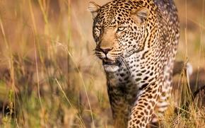 leopard, gattopardo, predatore, bello