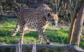 Ghepardo, Zoo, Italia