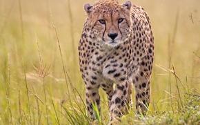 ghepardo, gattopardo, predatore, erba