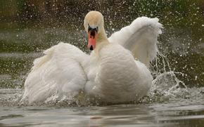 лебедь, птица, крылья, вода, брызги