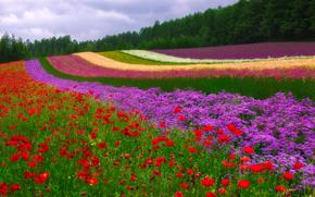 Farm Tomita, Nakafurano, Japan, Накафурано, Япония, поле, цветы, маки, лес