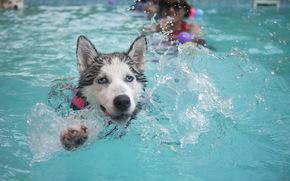 Eskimo Hund, Huskies, Hund, Schwimmen, Pool