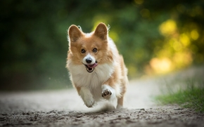 Welsh Corgi, dog, tour, running, joy, mood