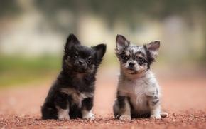 Chihuahua, Cane, Cuccioli, bambini, coppia