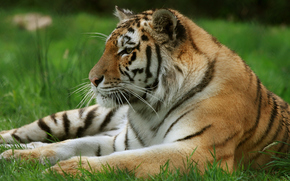 Prescot, Merseyside, Parque safary Knowsley, Inglaterra, Siberian Tiger, Reino Unido