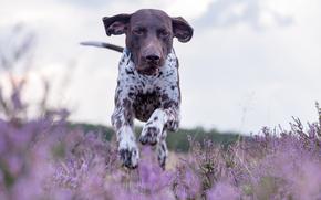 курцхаар, немецкий пойнтер, немецкая короткошёрстная легавая, собака, прогулка, бег, вереск, луг