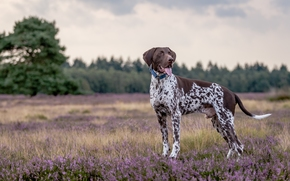 курцхаар, немецкий пойнтер, немецкая короткошёрстная легавая, собака, вереск, луг