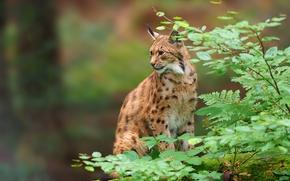 lynx, wildcat, predator, BRANCH, foliage