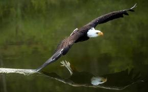 Белоголовый орлан, ястреб, птица, хищник, крылья, полёт, вода, отражение
