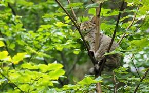 Adormecido, sonho, gato selvagem, ?rvore, na ?rvore