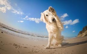 Golden retriever, Golden Retriever, dog, paw, sea, beach, sand