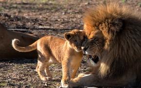 львёнок, детёныш, лев, отцовство, львы, любовь