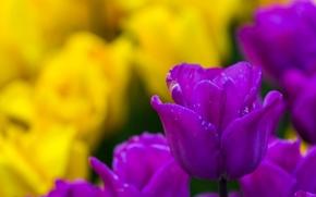 тюльпаны, тюльпан, бутон, боке