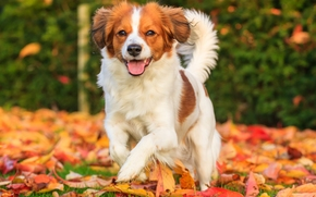 Kooikerhondje, dog, joy, mood, foliage, autumn