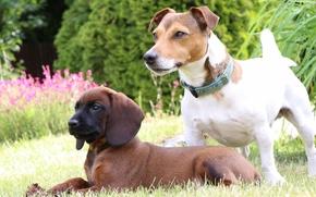 Bavarian Mountain Hound, Jack Russell Terrier, Dog, puppy, lawn