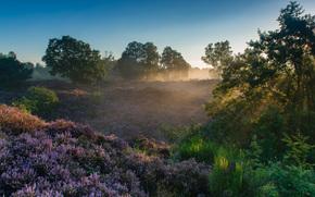 Parco Nazionale Veluwezoom, Rheden, Gelderland, Paesi Bassi, Parco Nazionale Parco Nazionale Veluwezoom, Reden, Gelderland, Paesi Bassi, mattinata, DAWN, Raggi, erica, alberi