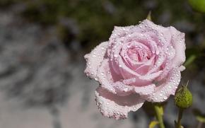 rosa, BUD, gotas, Macro