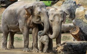 слониха, слонёнок, слон, слоны