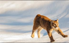cub cougar, Montana, USA