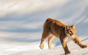 puma, cub, cub cougar, Montana, USA