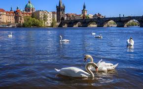 Czech Republic, Prague, Prague, Vltava Swans