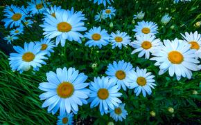 ромашки, цветы, флора