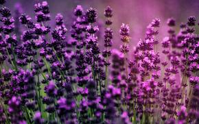 lavender, лаванда, макро