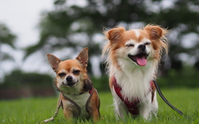 Chihuahua, Dog, couple, joy, mood
